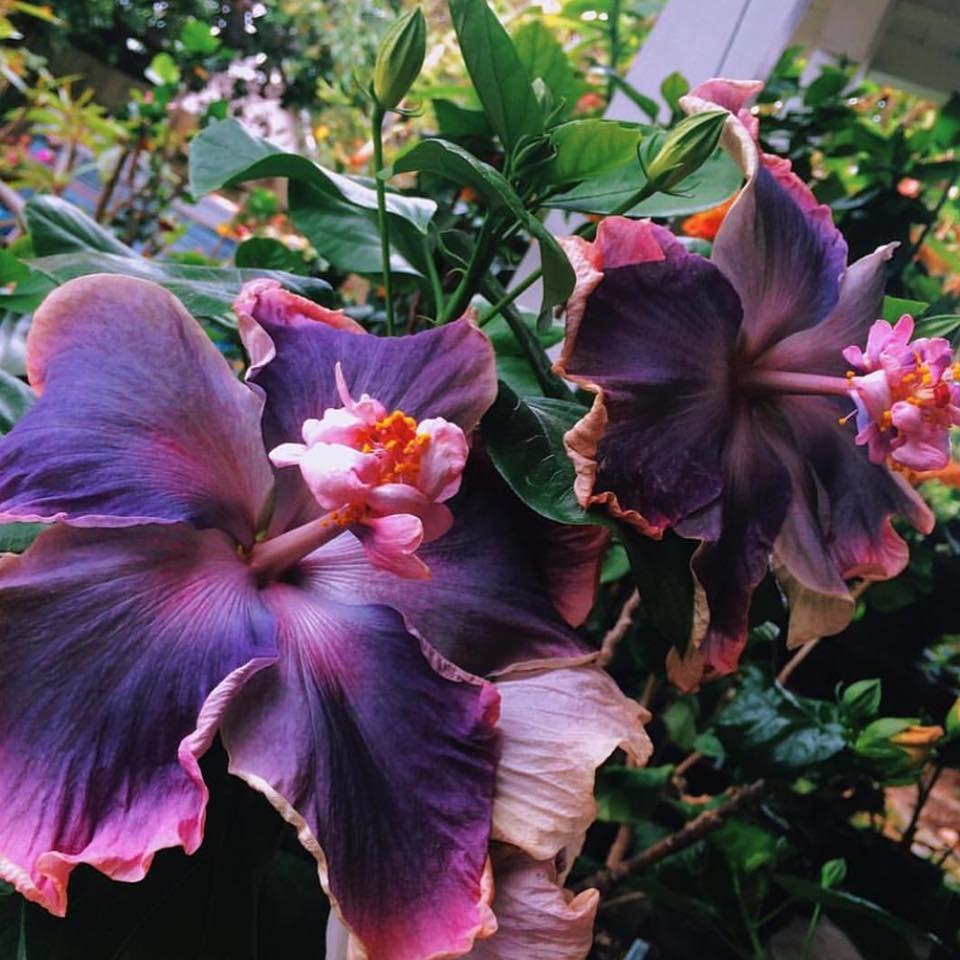 Moorea Lovely Treasure Hibiscus flowers, Hibiscus