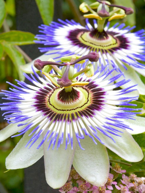 This looks like something out of a Dr. Seuss book! (passion flowers are intricate purple and white)