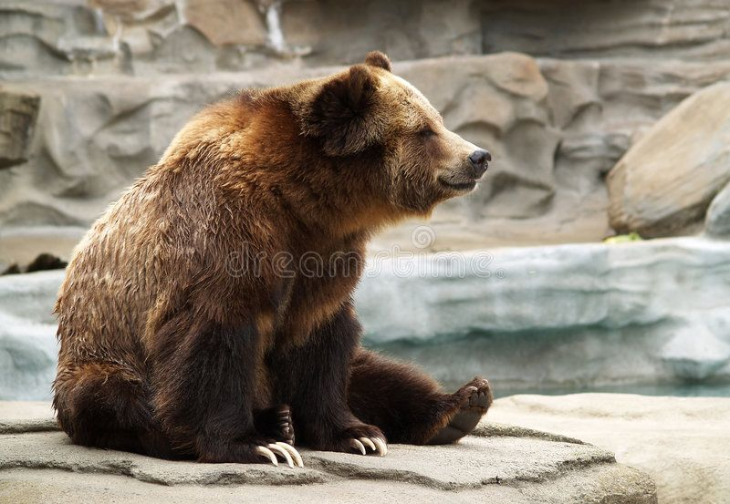 Grizzly Bear A Grizzly Bear Sitting On A Rock Formation At The Zoo Affiliate Grizzly Bear Grizzly Bear Illustration Bear Paintings Bear Sculptures