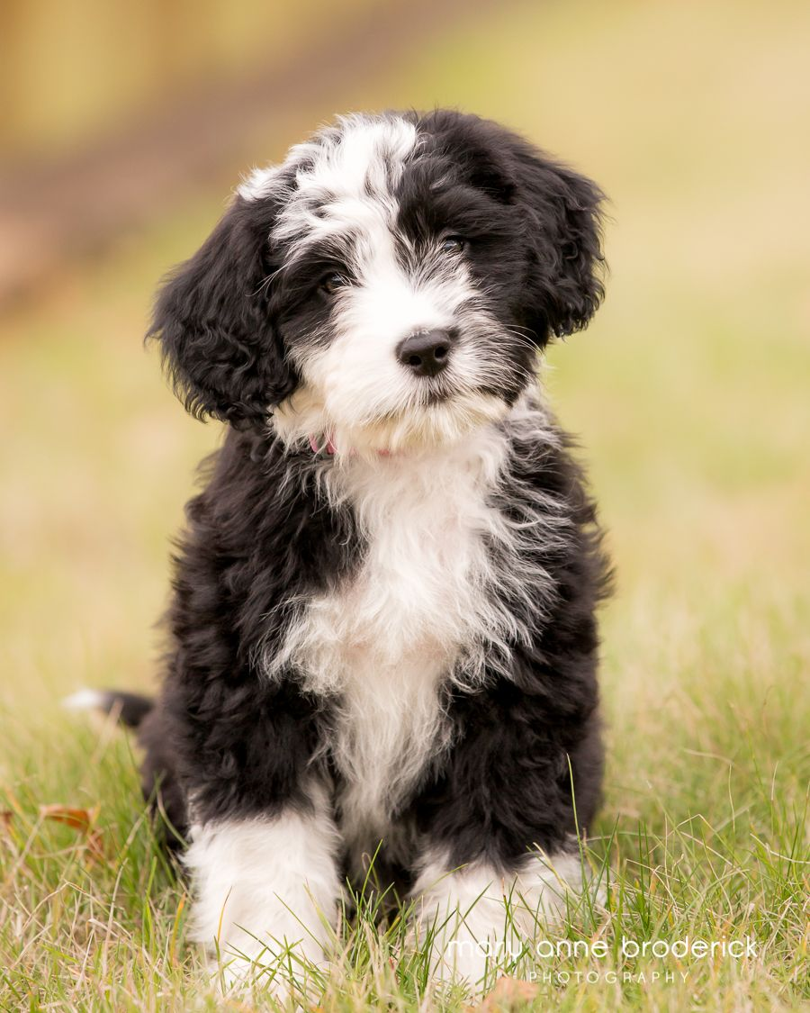Happiness Is A Warm Puppy Charles Schulzsophie The Black And White Puppy Is A Portuguese Water Dog W Portuguese Water Dog Water Dog Portugese Water Dogs