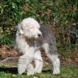 Luca is an adoptable Old English Sheepdog Dog in Wilmington, NC. My name is Luca and I am a little love bug! Now looking for my furever home!! Please feel free to fill out an application for me if you...