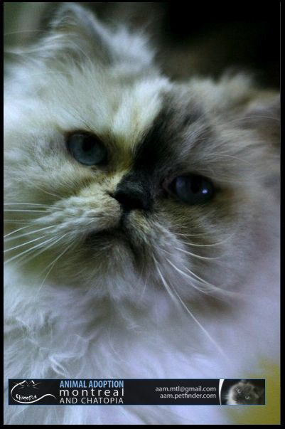 Himalayan Tortie Point Persian Cat Cats Cats And Kittens