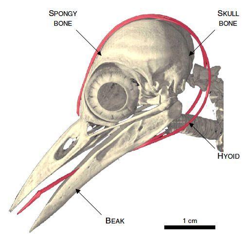 Woodpecker Anatomy | Woodpecker Tongue around Brain Freaky! | Animal ...