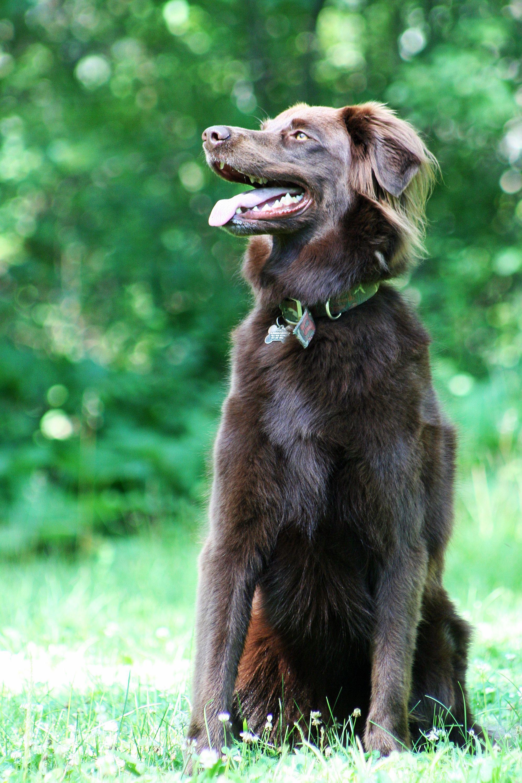 Long Haired Chocolate Lab Chocolate Labrador Retriever Retriever Puppy Chocolate Labrador