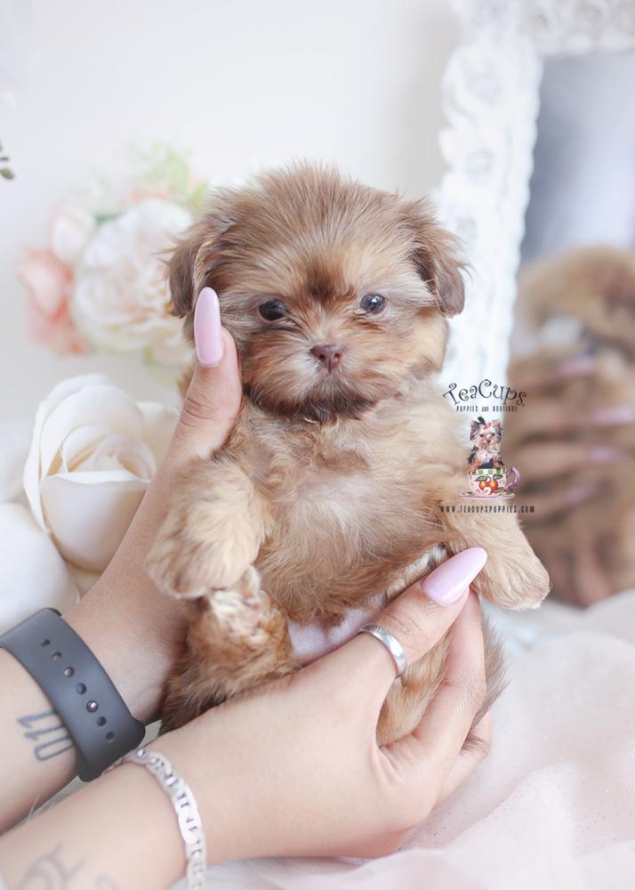Shihtzu Puppy 043 In 2020 Shih Tzu Puppy Puppies Shih Tzu