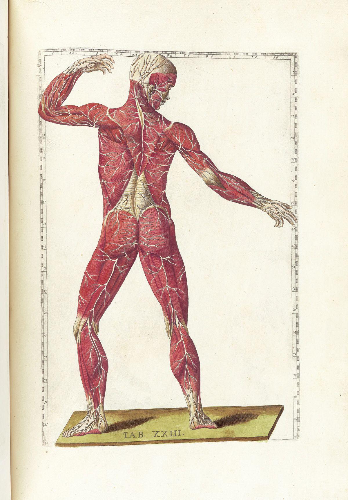 Nervous System From Bartholomeo Eustachi S Tabulae