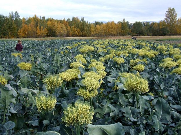 Broccoli florets are also little closed flower buds. | 28 Fruits And Vegetables That You Had No Idea Grew Like That