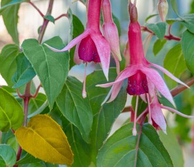 Yellow Leaves On Fuchsia Plants Fixes For A Fuchsia With Yellowing Foliage Fuchsia Plant Plant Leaves Turning Yellow Fuchsia Flowers