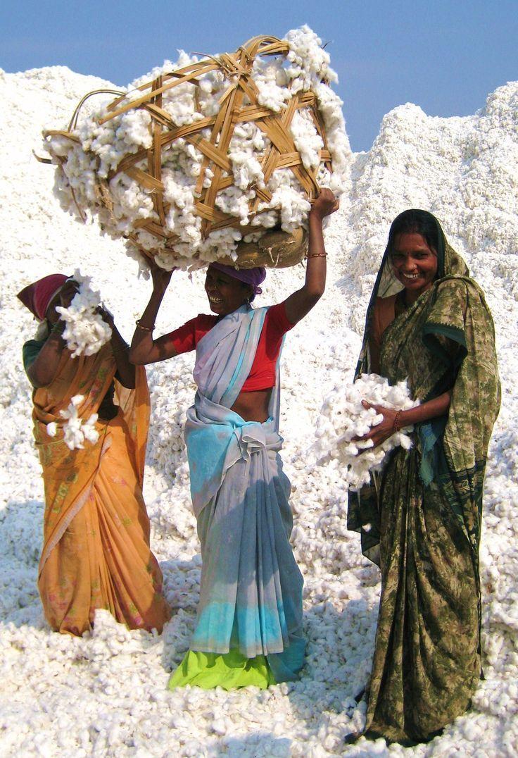Cotton farming, Maharashtra, India. Cotton plantation in