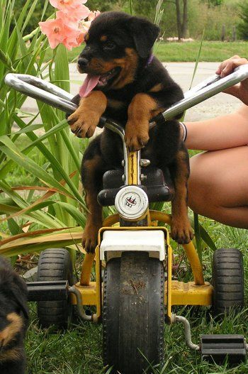Rottweiler puppy,...Yeah, I got this...fearless!