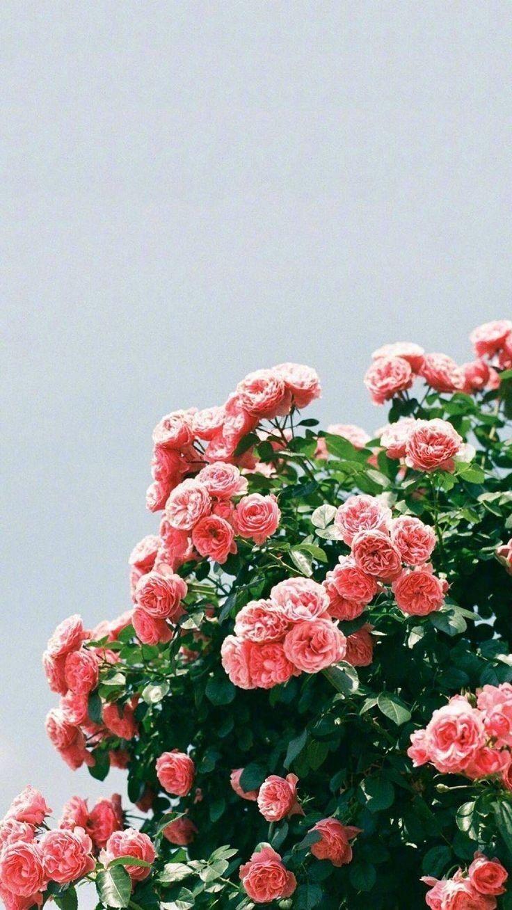 Pinterest Joyful Grace Flower Aesthetic Flower Wallpaper Flower Backgrounds