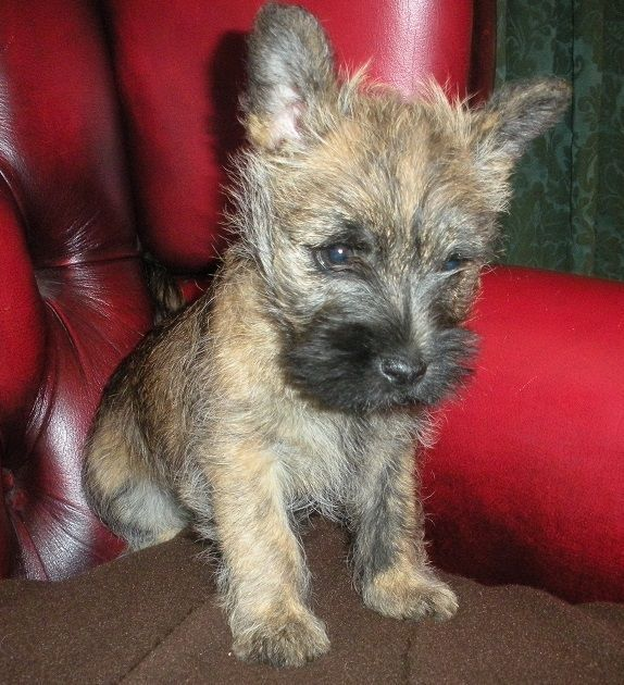 Cairn Terrier Puppies For Sale Cairn Terrier Puppies Terrier