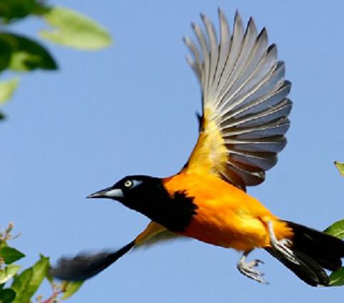 Aves En Peligro De Extincion En Venezuela El Turpial Representa Parte De Nuestro Orgullo Nacional Atentos A Este Detalle Beautiful Birds Animals Venezuela