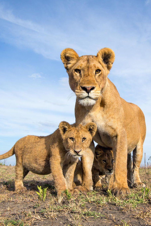 Serengeti Lions By William Burrard Lucas Animals Beautiful Wild Cats Animals Wild