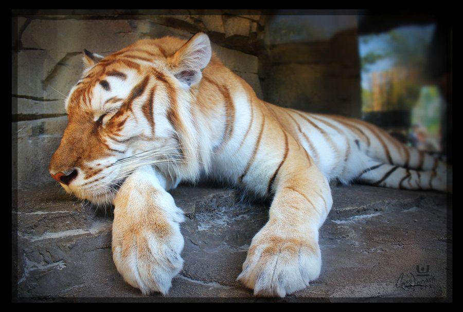 golden tiger - Google zoeken