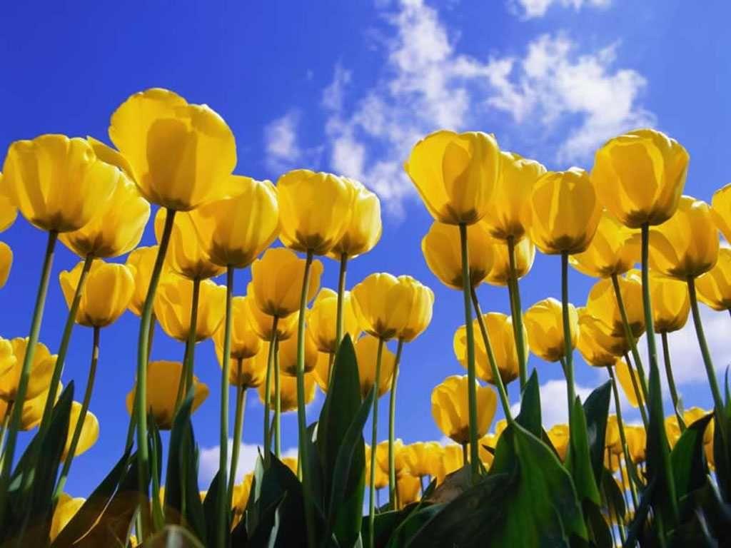 Tulips Hd Desktop Wallpaper Widescreen High Definition 1280 1024 Tulips Images Wallpapers 45 Wallpapers Adorable Wal Yellow Tulips Tulips Tulips Images