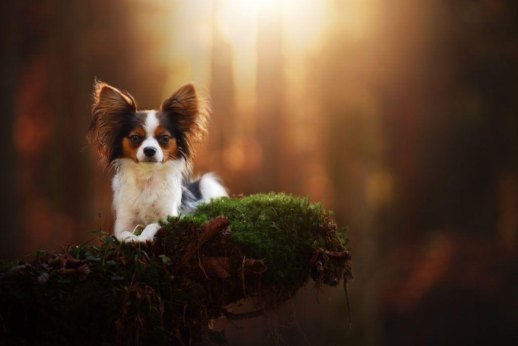 Hundefotografie Osterreich Anne Geier Fotografie Portfolio Dog Photography Papillon Dog Animal Photography