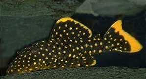 Gold Nugget Pleco Baryancistrus Sp L177 L085 L018