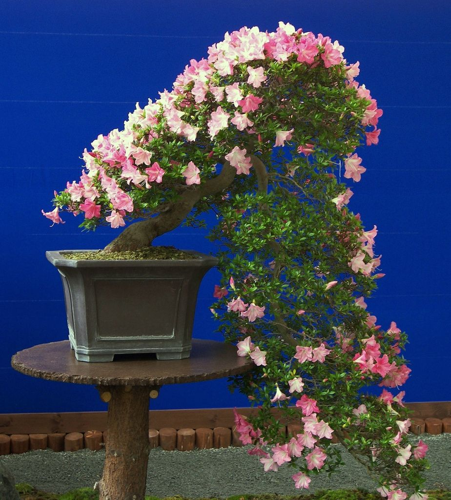 Bonsai in bloom | Explore chbeba1 photos on Flickr. chbeba1 … | Flickr - Photo Sharing!