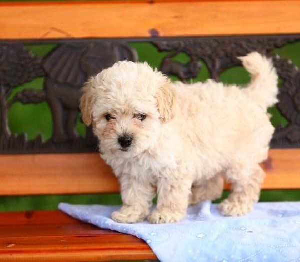 Poodles Puppies for Free | Toy Poodle Puppies for Sale Offer