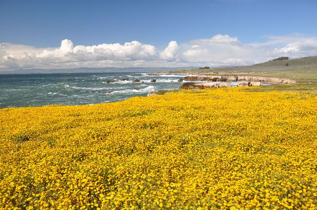 Wildflowers along Point Buchon trail, Montana de Oro State ...