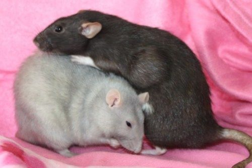Available for adoption from http://mainelyratrescue.org/rattieblog2//?p=922
