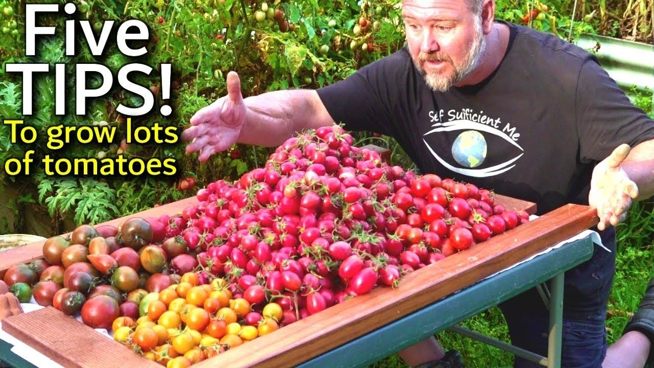 5 TIPS How to Grow a TON of TOMATOES in One Long Raised