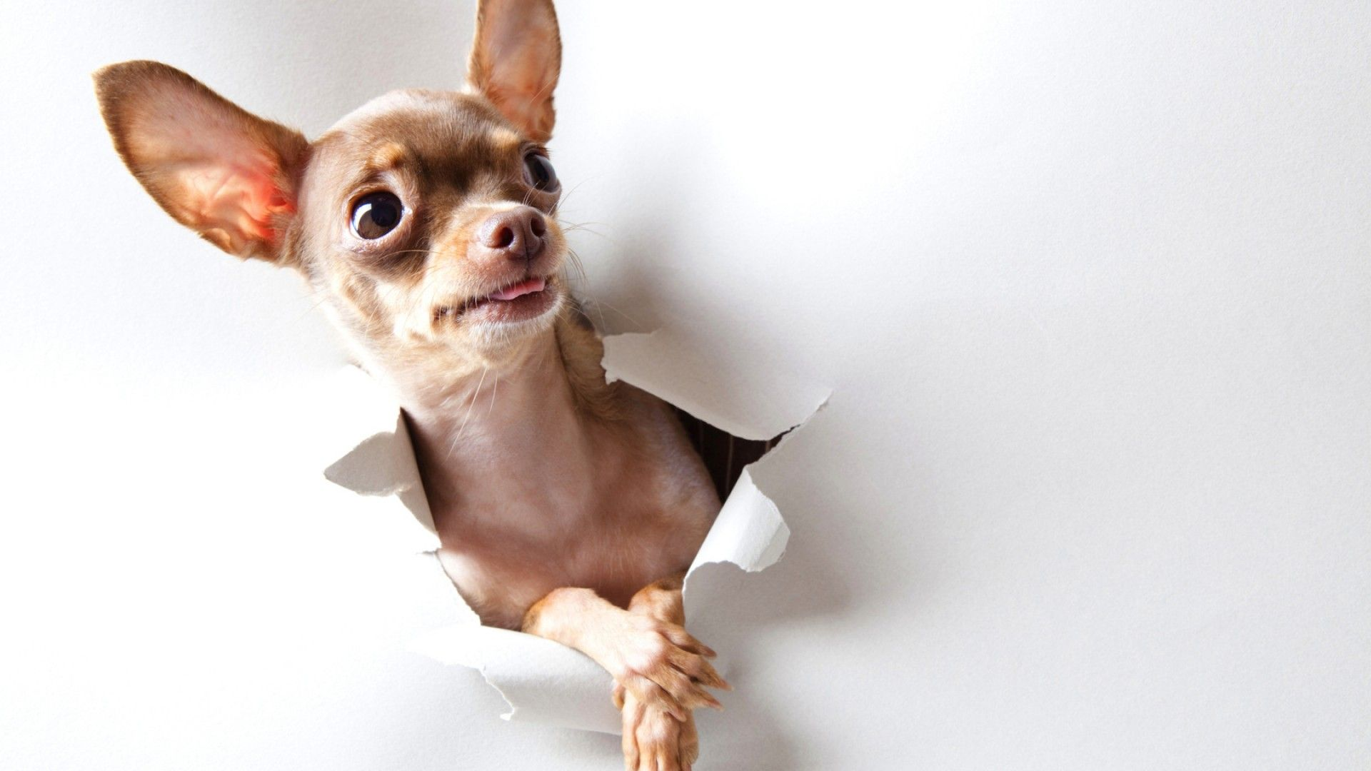 Breaking Through A Whistle Themed Background Chihuahua Dog