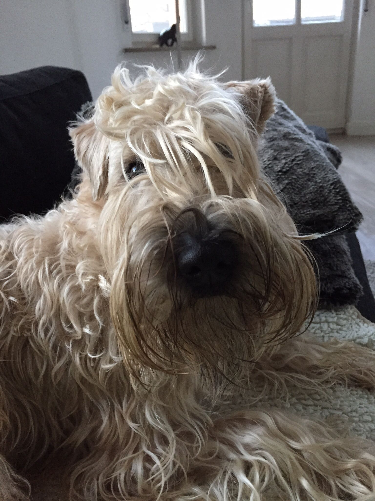 Irish Soft Coated Wheaten Terrier Emma (February 2014) Hunde