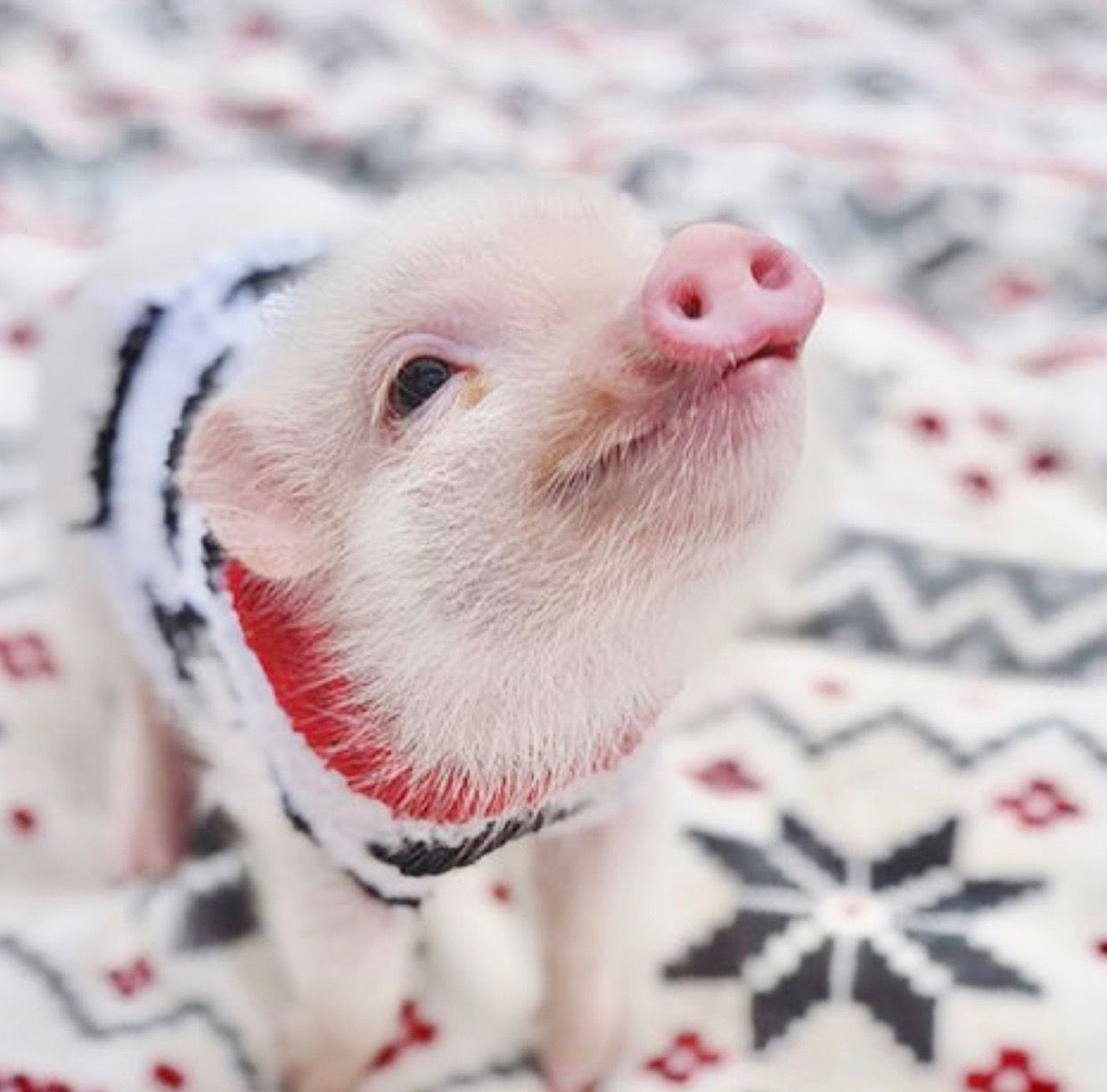 ️💗🖤 Cute baby pigs, Cute piglets, Cute pigs