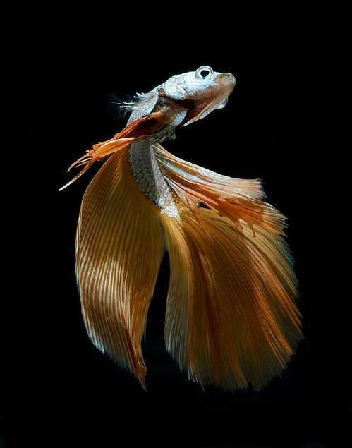 The flowing fins of siamese fighting fish by visarute for Betta fish friends