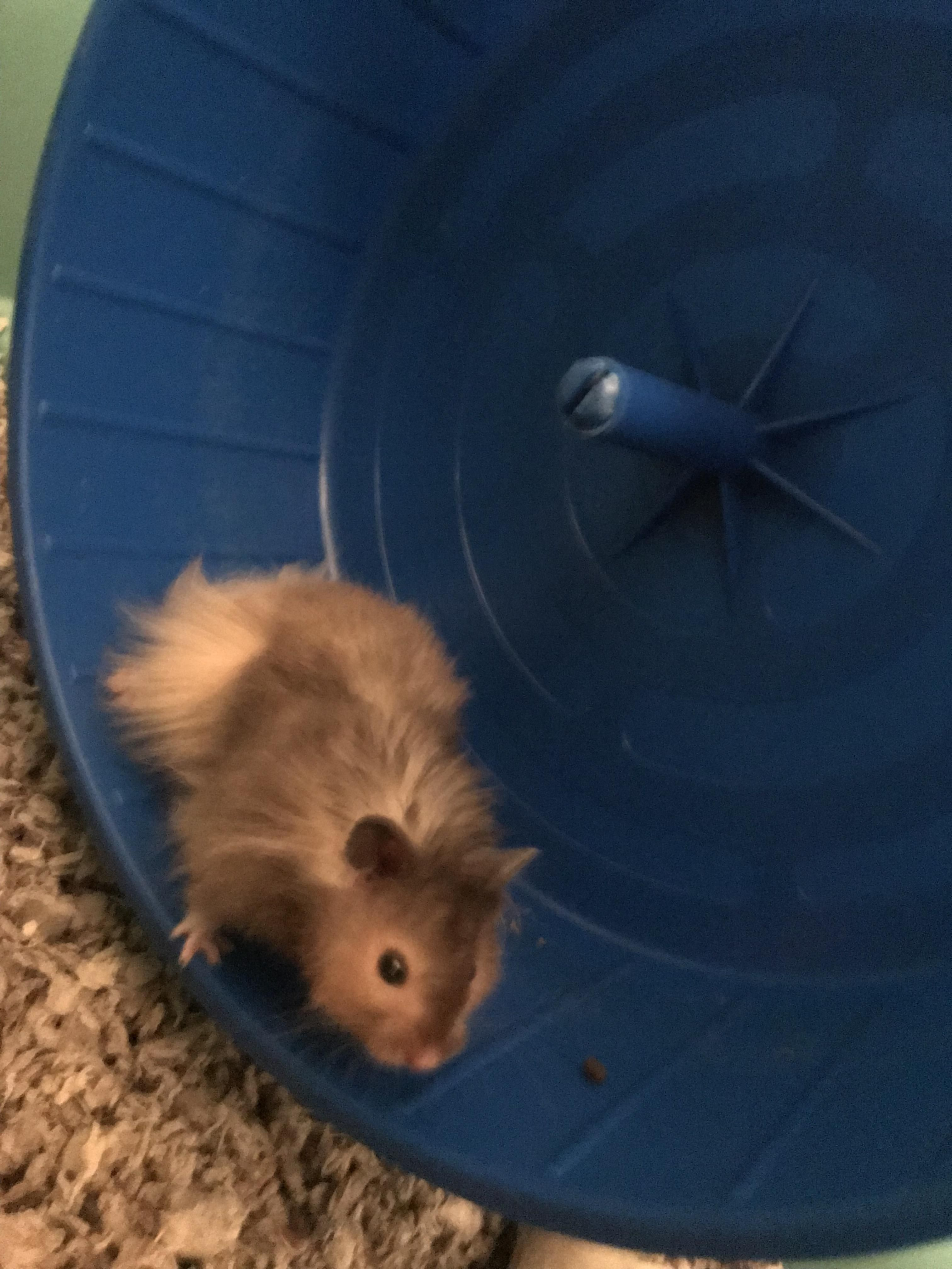 Meet Cheerio My Long Haired Syrianhttps I Redd It Tdrh0x5lm0j01 Jpg Long Haired Hamster Hamster Life Cute Hamsters