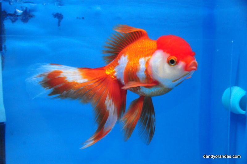 Oranda Goldfish For Sale Auction Closed For Price 99 00 Goldfish For Sale Oranda Goldfish Goldfish