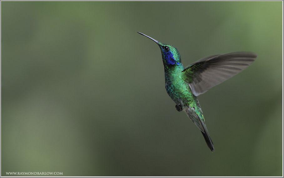 Green and blue hummingbird