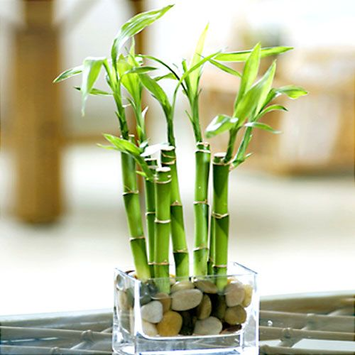 River Rock Lucky Bamboo With Vase