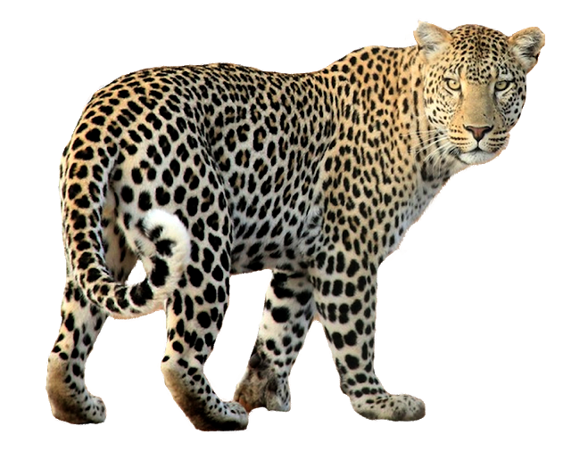 Indian Leopard Leopard Cheetah Free Png Image Animals Png Miniature Pigs