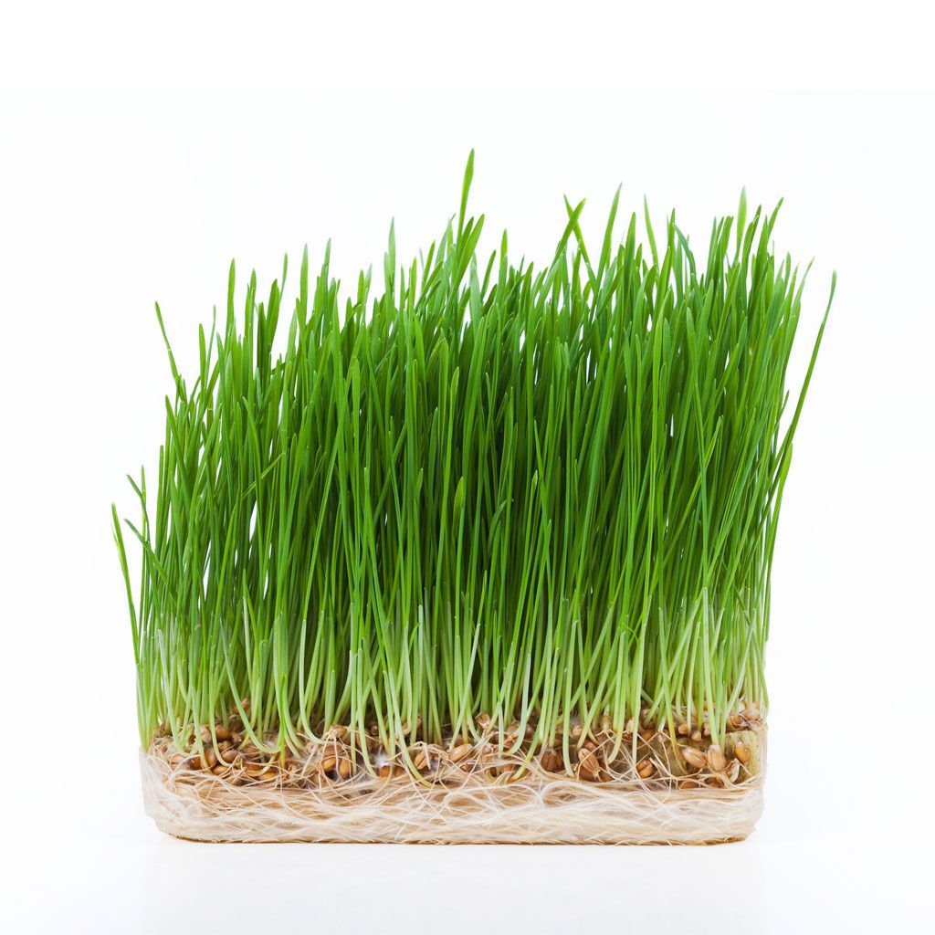 How To Grow Wheatgrass Wheat grass, Wheatgrass benefits