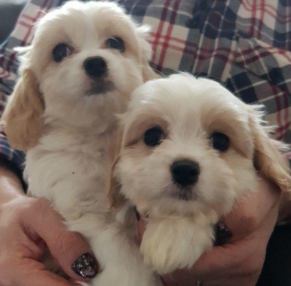 STUNNING F1 Cavachon puppy for sale Cavachon puppies