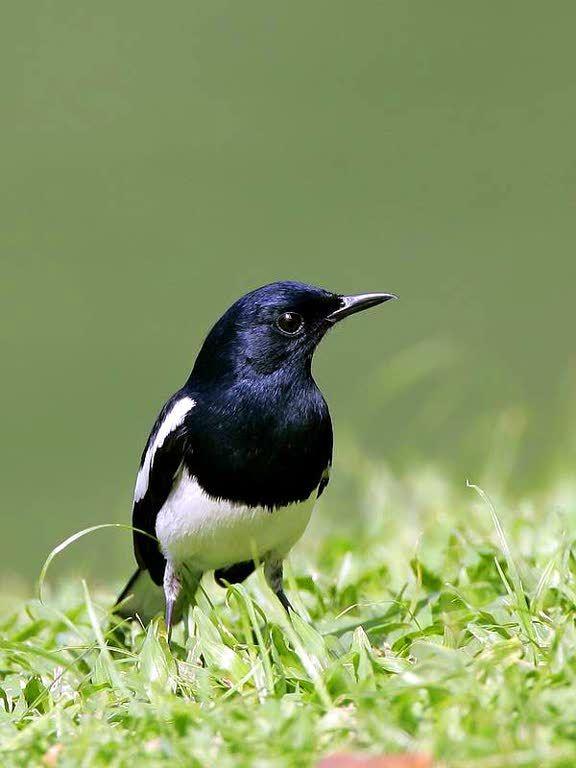 National Bird Of Bangladesh Magpie Robin Doel Animals Images Pet Birds Rare Birds
