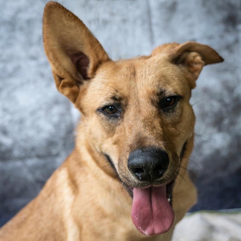 Adopt Daisy on German shepherd dogs, Labrador retriever
