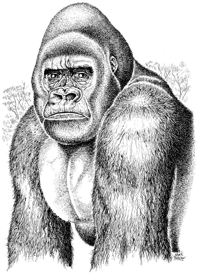 Gorilla Face Line Drawing : Gorilla face sketch google search ib d pinterest
