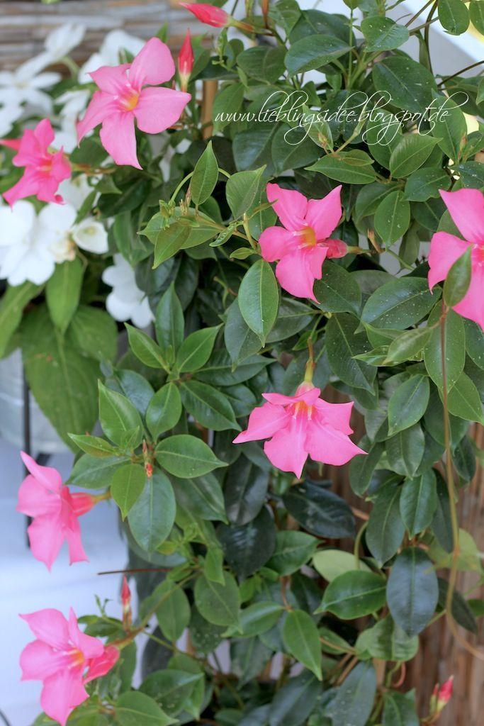 Neue Gartenideen mandevilla dipladenie gartenideen mediterrane