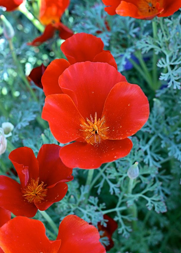 Eschscholzia Californica Red Chief 2 Tangerine California Poppies Blooms Spring Thru Summer Deadhead For Extra Long Bloom Grows Well In Poor