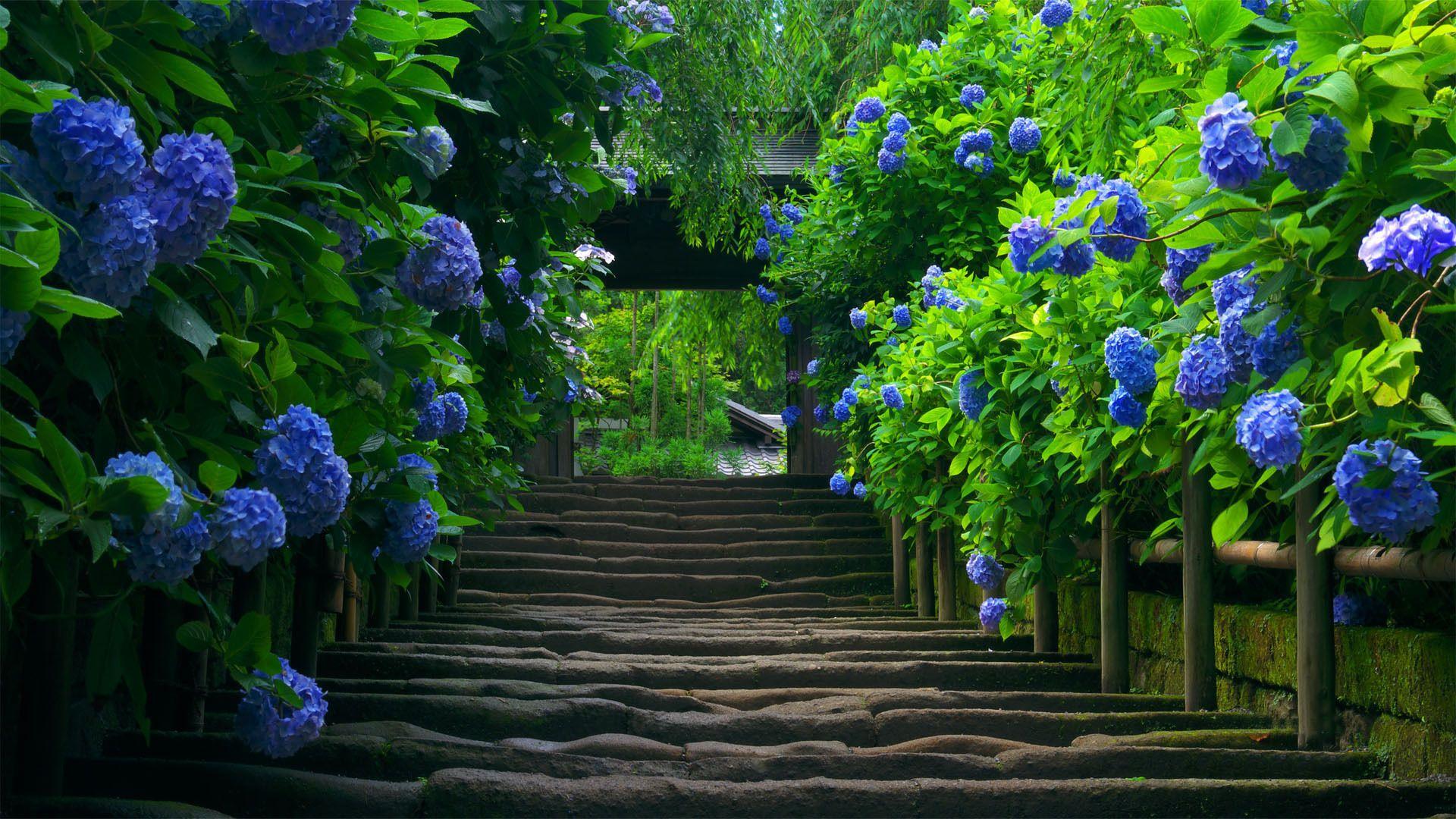 Japanese Garden S Inviting Walkway Hd Nature Wallpapers Flower Desktop Wallpaper Beautiful Hydrangeas Garden flower wallpaper hd nature