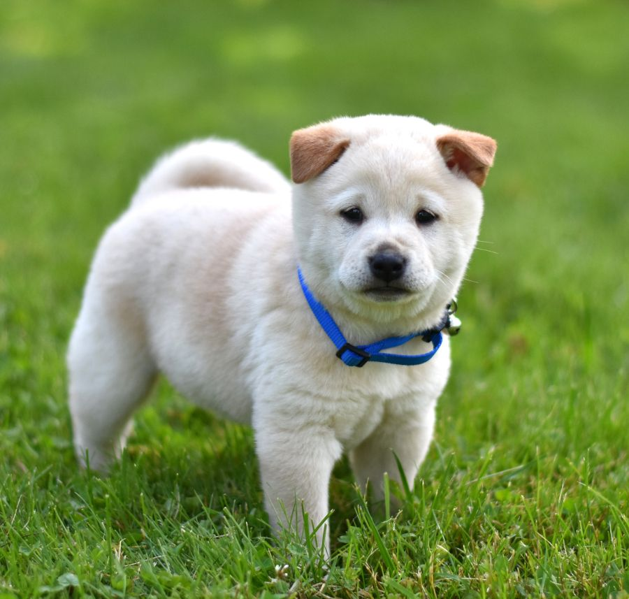 Cute Cuddly And Ready To Begin Lifesadventures This Adorable Shibainu Puppy Billy Is Super Friendly And Shiba Inu Puppy Shiba Inu Lancaster Puppies