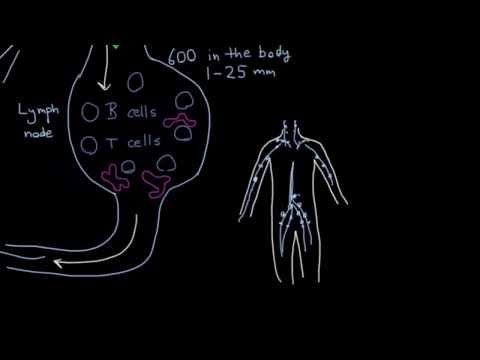 What is the lymphatic system's role in immunity - YouTube (C3