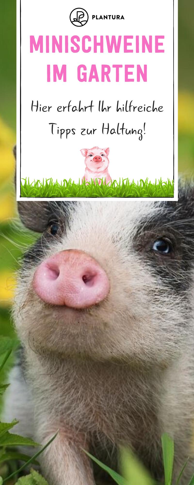 Minischweine Im Garten Tipps Zur Haltung Plantura Minischwein Haustier Schweine Garten