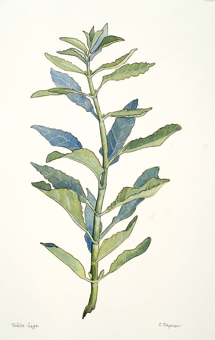 Sage Illustration white sage wate...