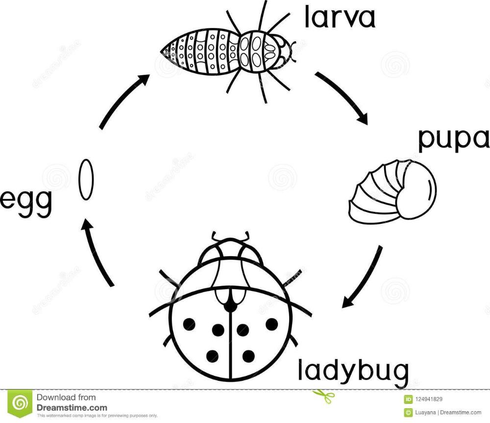 Ladybug Life Cycle Coloring Page Anazhthsh Google In 2020 Ladybug Life Cycle Coloring Pages Ladybug