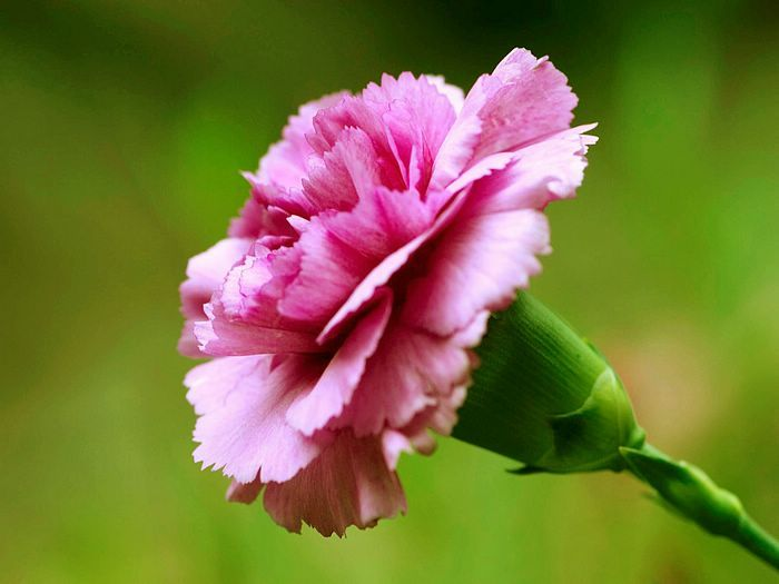 Flowers For Flower Lovers Carination Flowers Wallpapers Carnation Flower Carnations March Birth Flowers